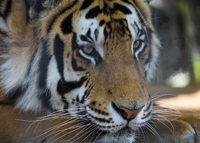 GW Tiger resting on paw