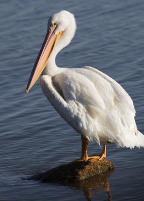 Hefner Pelican on rock
