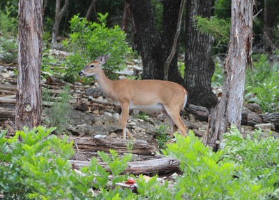 Framed Deer