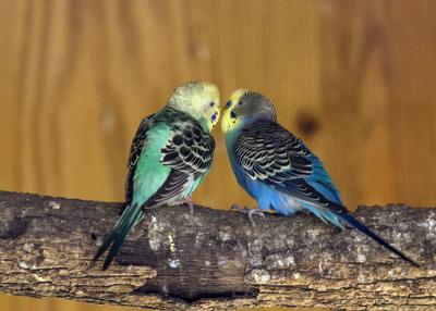 Parakeets, GW Exotic Animal Park,