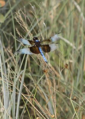 WM Blue Dragonfly