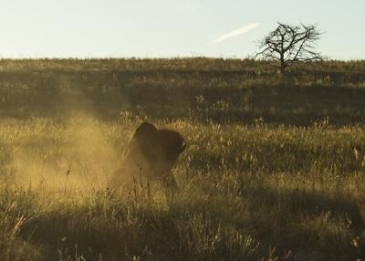 Rutting Bison