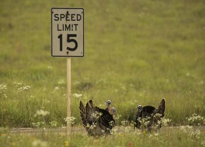 3 speeding Wild Turkeys