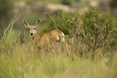 Black Mesa Mule Deer
