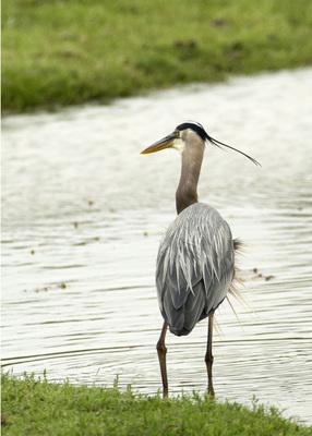 Blue Heron, Arbuckle Wilderness, D