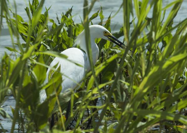 Hagerman Egret w/fish