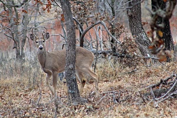WMWR camo Deer