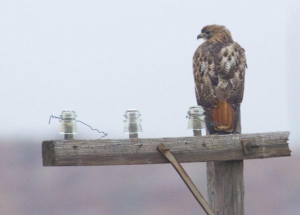 GSP redtail on wooden pole