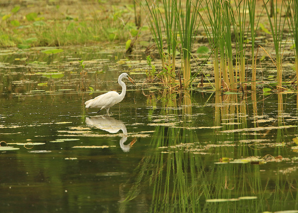 GSP Snowy Egret with reflection