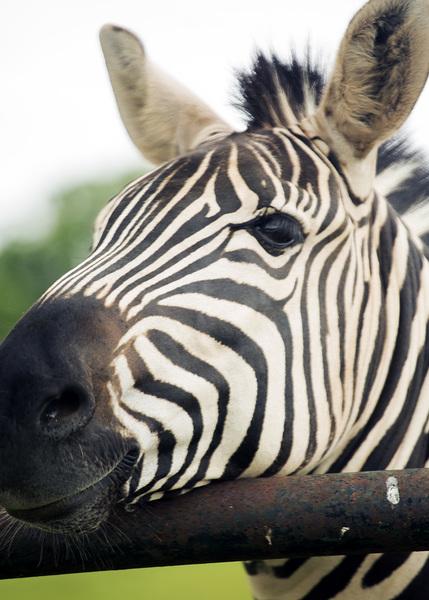 Arbuckle Zebra