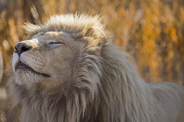 GW Lion sniffing air