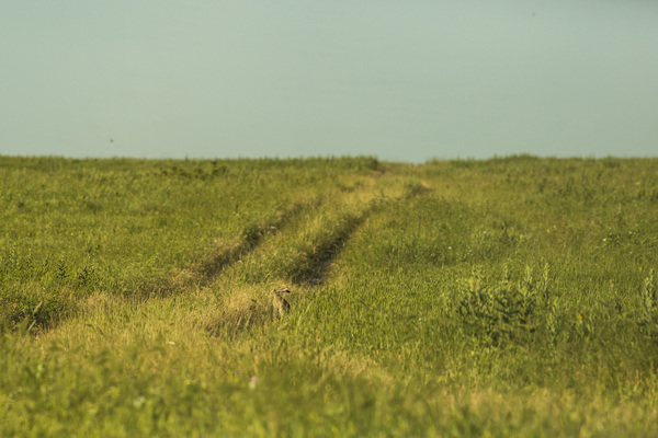 Tallgrass Antelope Jack on grassy