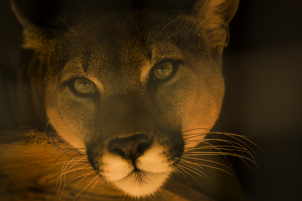 Mountain Lion from above