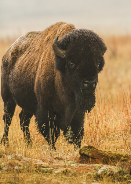 WMWR Bison in gold pasture
