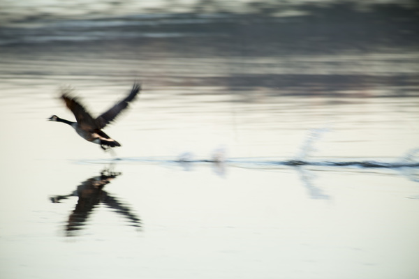 Quanah Goose taking off out of wat
