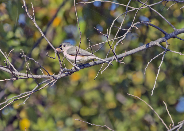 Tufted Titmouse with nut