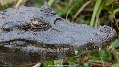 Pantanal Caimen, intimidation.