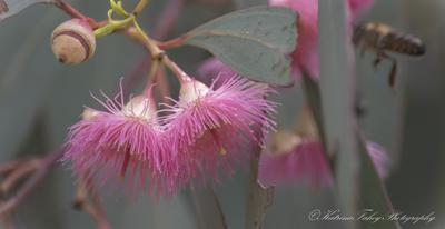 Gumnut Flower
