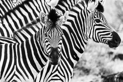 Zebra migratie in november 2018 een zeer droge en hete periode.