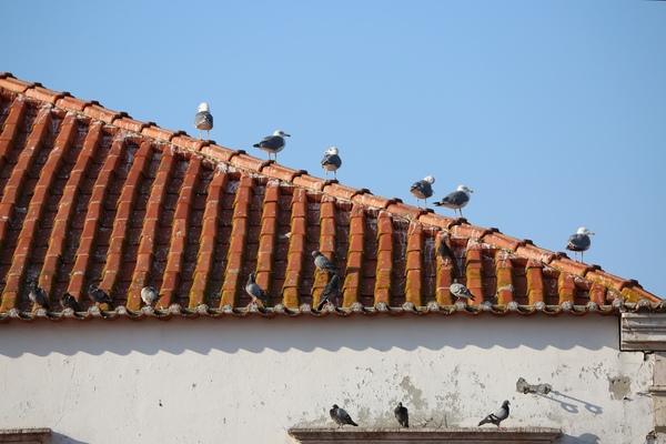 seagulls and pigeons