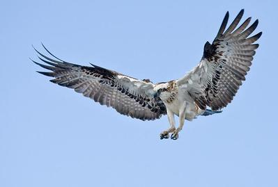 Male Osprey landing  Lake Innes, NSW