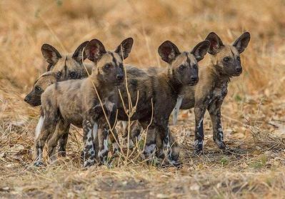 African Wild Dog pups  Okavango Delta, Botswana