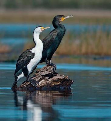 Pied Cormorant and Great Cormorant Lake Innes, NSW