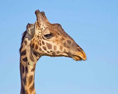 Giraffe portrait  Serengeti, Tanzania