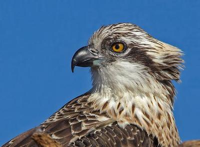 Osprey portrait  Lake Innes, NSW