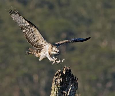 Osprey  Lake Innes, NSW