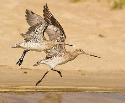 Bar-tailed Godwits taking off  Portmacquarie, NSW