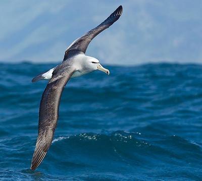 Salvins Albatross  Kaikaura, New Zealand