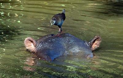 Hippopotamus with Black Crake  Kruger NP, South Africa