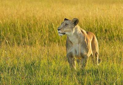 Lioness Masai Mara, Kenya