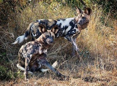 African Wild Dogs Kruger NP, South Africa