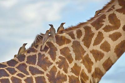 Yellow-billed Oxpeckers and Giraffe  Serengeti Plains, Tanzania