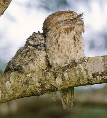 Tawny Frogmouth and chick  Sancrox, NSW
