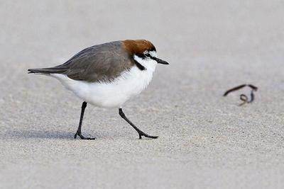 Red-capped Plover  Port Macquarie, NSW