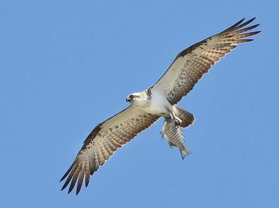 Osprey with fish Harrington, NSW