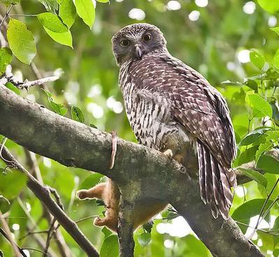 Powerful Owl  Port Macquarie, NSW