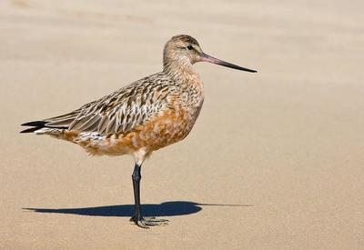 Male Bar-tailed Godwit in breeding plumage  Port Macquarie, NSW