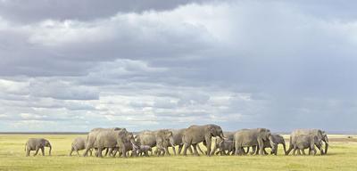Elephant herd  Amboseli NP, Kenya