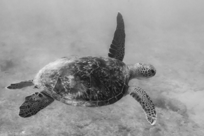 Turtle BnW (1 of 1).jpg