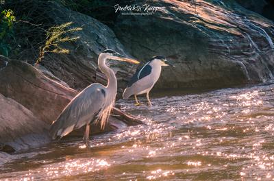 Great Blue Heron & Black-crowned N