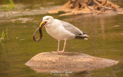 Herring Gull eating a Lamprey Fish