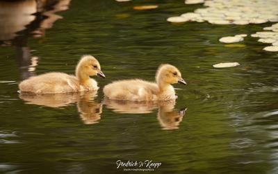 Goslings early morning.