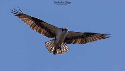 _Osprey